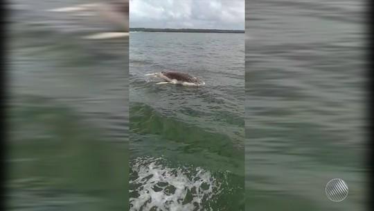 Filhote de baleia com 7 metros de comprimento é encontrado morto na BA