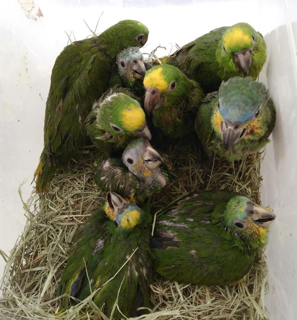 Também há filhotes de papagaios entre as aves (Foto: Divulgação/Naturatins)