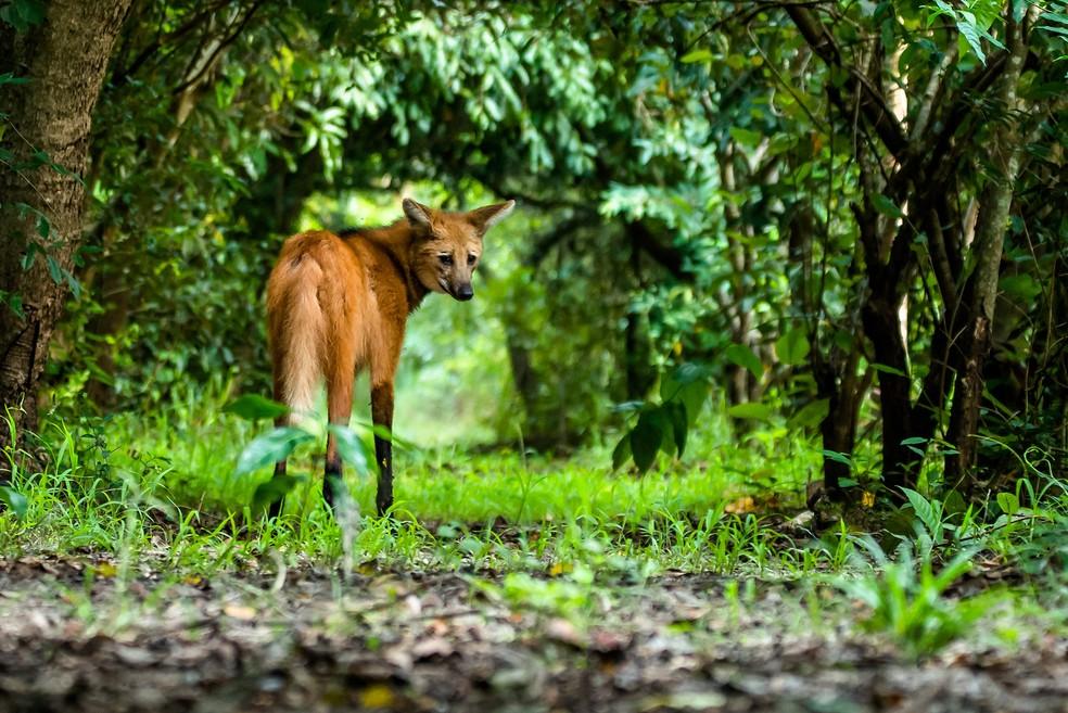 Encontro com lobo-guará marcou fotógrafo de natureza que o registrou na cidade de Bocaína (SP) — Foto: Junior Esteves/VC no TG