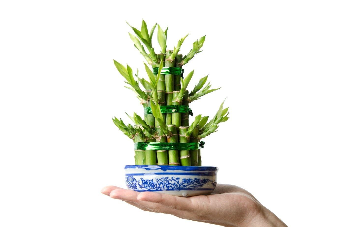 Chinese Lucky bamboo, Dracaena sanderiana, isolated (Foto: Getty Images/iStockphoto)
