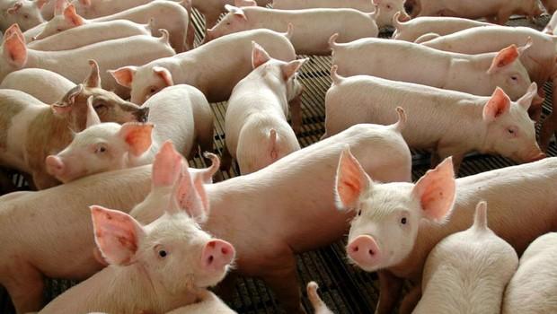 carne suína; porcos;  (Foto: Divulgação Governo Federal)