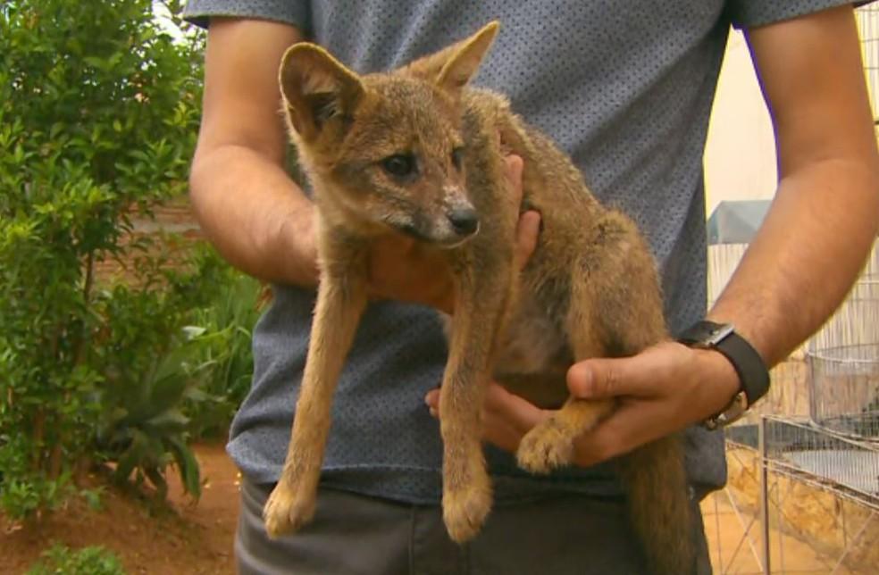 Filhote de raposa encontrado em casa de MG será reintegrado à natureza — Foto: Reprodução/EPTV