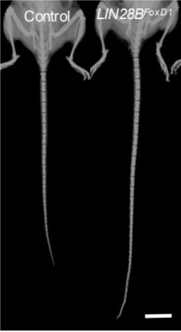 O rato à direita teve gene manipulado e ficou com a cauda longa fora do normal (Foto: Divulgação/DEVELOPMENTAL CELL)