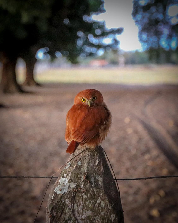 Fotógrafo registra passarinho e descobre após publicação que era uma das menores corujas do mundo