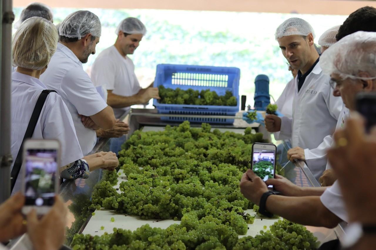 Milhões de quilos de uva colhidos já estão na cantina, transformando-se em vinhos finos e espumantes