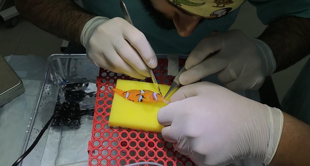Peixe-palhaço passa por procedimento para retirada de tumor (Foto: Arquivo Pessoal/Divulgação)