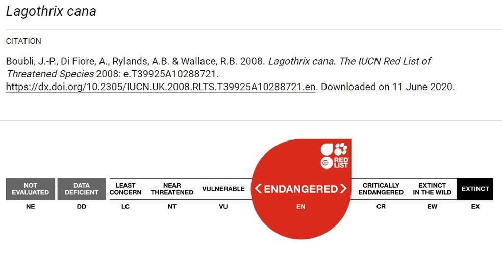 Macaco-barrigudo está desde 2008 na lista internacional de ameaçados de extinção.  — Foto: Reprodução/UICN