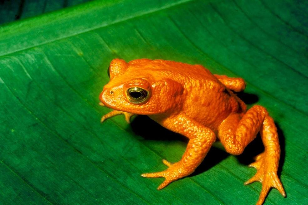 O sapo dourado, ou Bufo periglenes, viveu na região de Monteverde, na Costa Rica, mas não é visto na natureza desde 1989 — Foto: U.S Fish and Wildlife Service