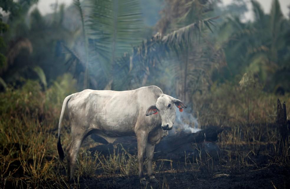 Uma vaca é vista em meio a fumaça de um trecho em chamas da floresta amazônica durante derrubada por madeireiros e agricultores em Apui, no Amazonas — Foto: Bruno Kelly/Reuters/Arquivo