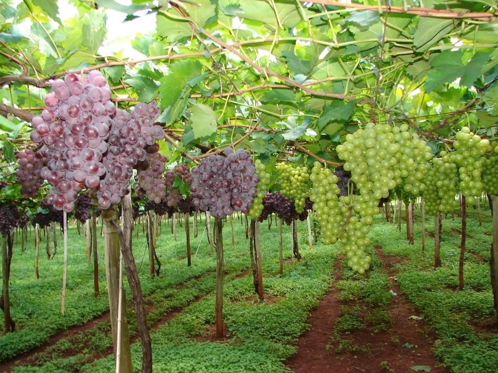 Uvas produzidas em Marialva têm selo de identificação geográfica de procedência — Foto: Armando Rossato/Prefeitura de Marialva