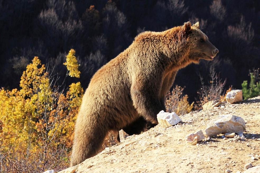 Urso  se prepara para o período de hibernação no Santuário Four Paws Bear em Pristina, no Kosovo — Foto: Haziz Reka/Reuters