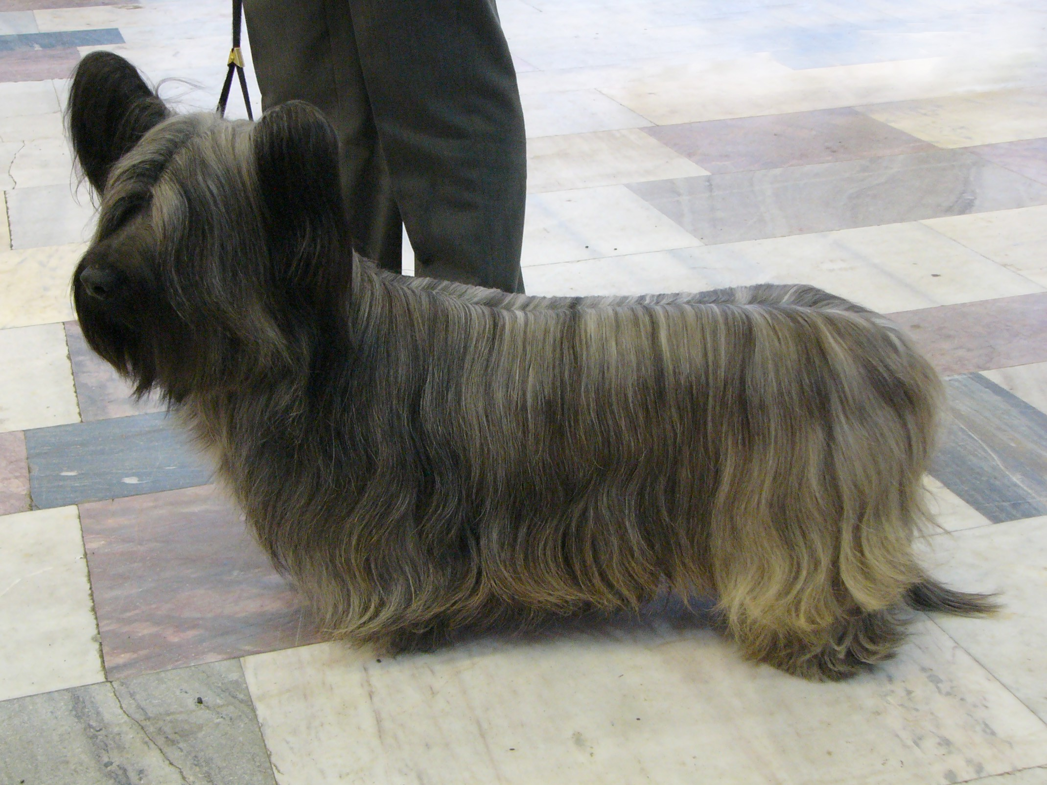 O Skye Terrier (Foto: wikimedia commons)