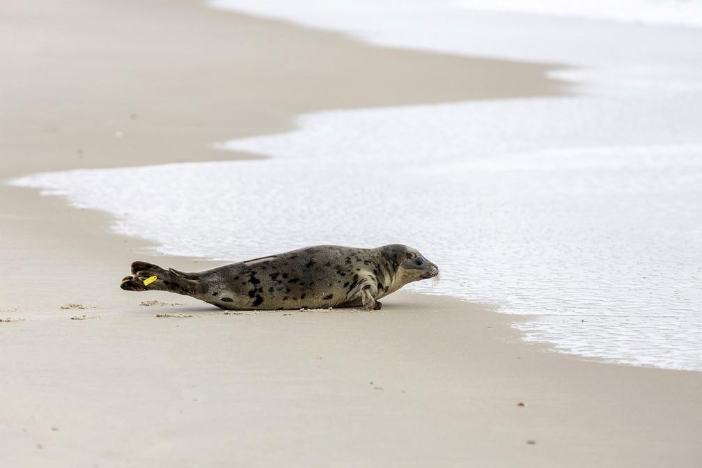 A foca Amélia Bedélia rasteja até o mar em Salsbury, Maryland, nos EUA, ao ser reinserida na natureza após 3 semanas de reabilitação — Foto: Theresa Keil/The National Aquarium via AP