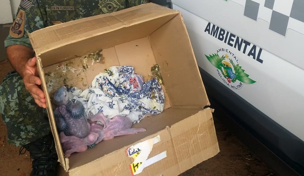 Quatro filhotes de arara-canindé foram abandonados em uma caixa de papelão — Foto: Polícia Ambiental