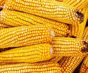 Seca e cigarrinha causam perdas no milho do sul do país, alerta Abramilho