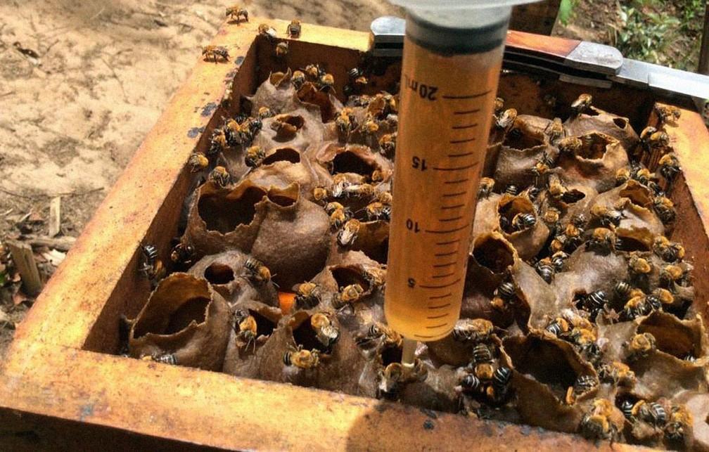 Retirada do mel das abelhas sem ferrão pode ser feita também com seringa — Foto: Meliponário Costa do Sauípe/ Divulgação