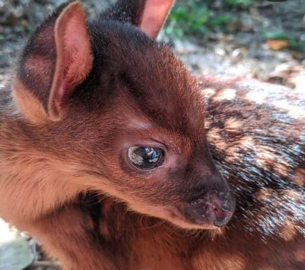 Filhote de veado-mão-curta é resgatado no Oeste de SC — Foto: Instituto Espaço Silvestre/ Reprodução