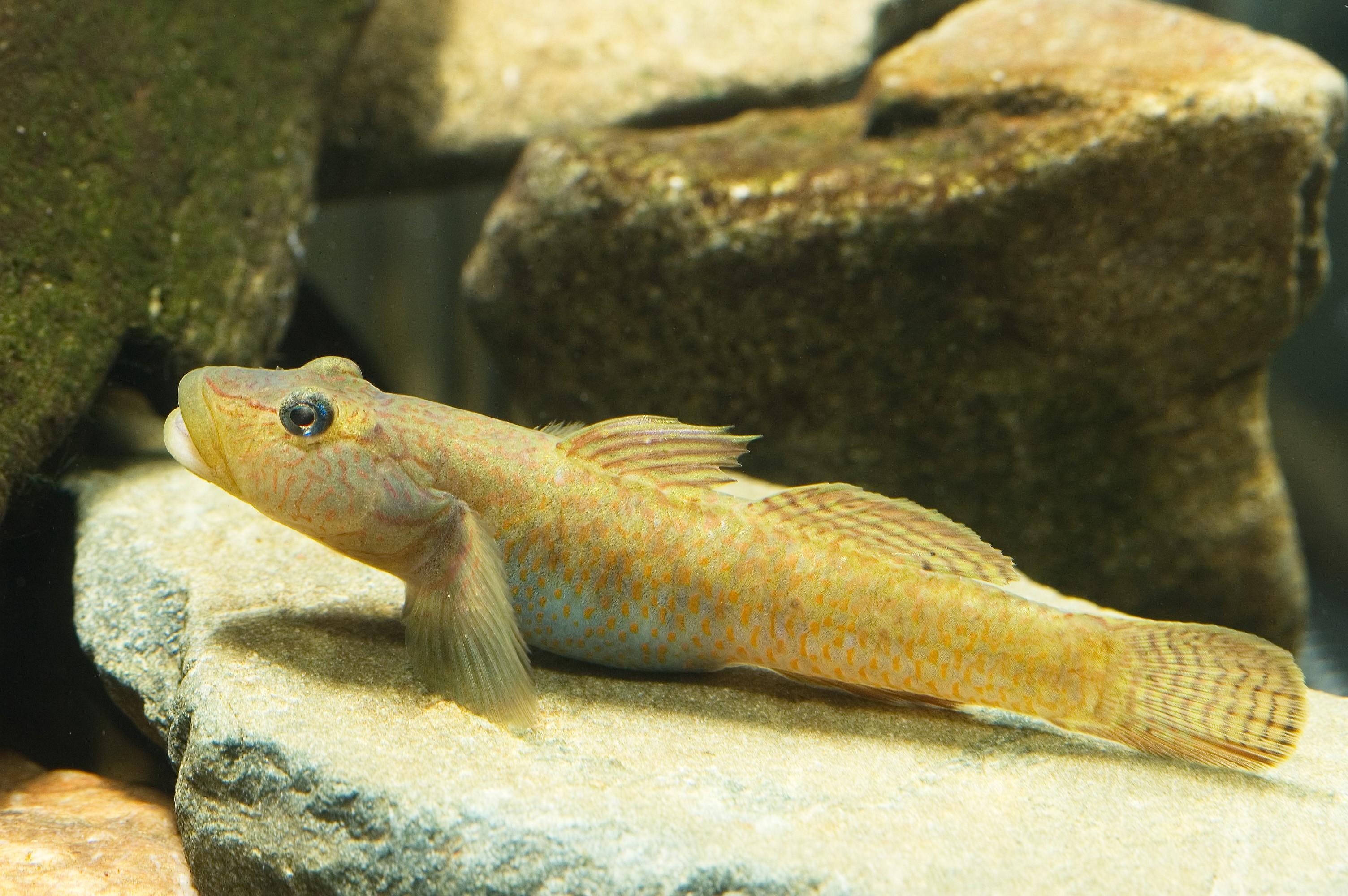 Os peixes gobi são os favoritos do imperador  (Foto: Wikimedia/Seotaro )