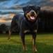 Papel de Parede: Rottweiler