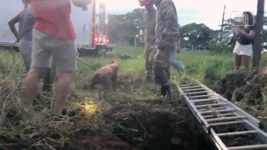 Pit bull é resgatado com vida após 7 dias preso em fossa de MS; veja vídeo
