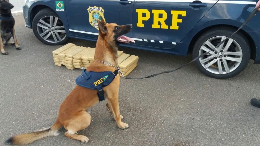 Cães farejadores da polícia encontraram a droga em ônibus em Pouso Alegre (MG), no último sábado (Foto: Polícia Rodoviária Federal)