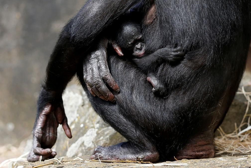 O filhote de um chimpanzé-pigmeu de uma semana de vida é visto com sua mãe no zoológico Planckendael em Mechelen, na Bélgica (Foto: François Lenoir/Reuters)