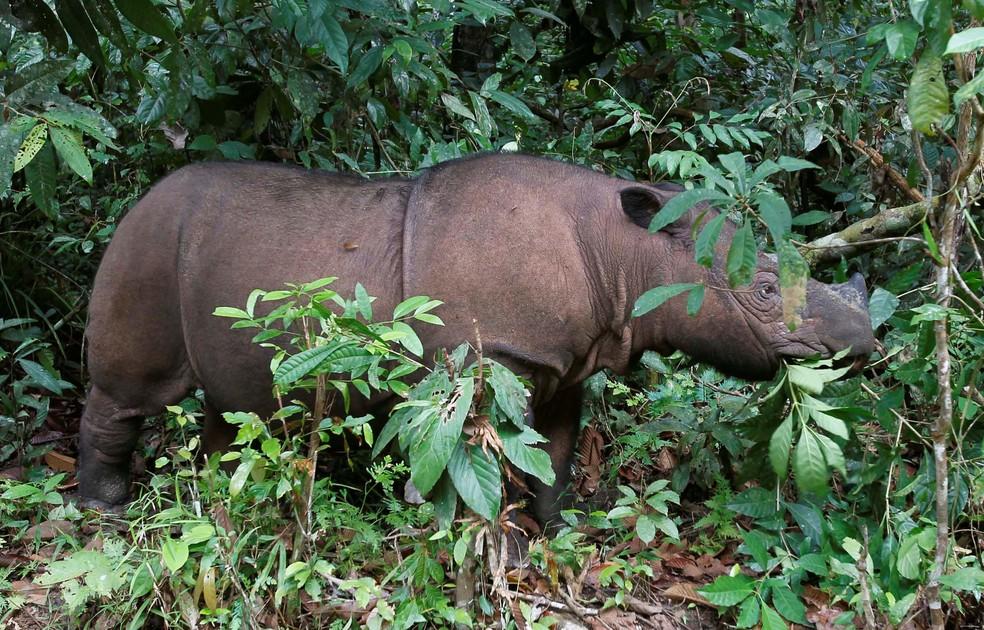 O rinoceronte-de-sumatra é uma das espécies ameaçadas com menos de 1000 indivíduos — Foto: Supri/Reuters