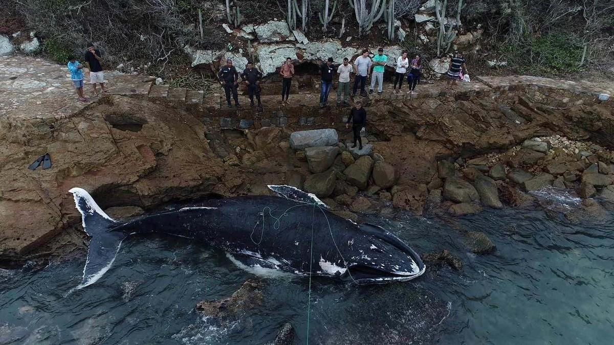 Baleia resgatada em mutirão no fim de semana aparece morta em Arraial do Cabo, no RJ