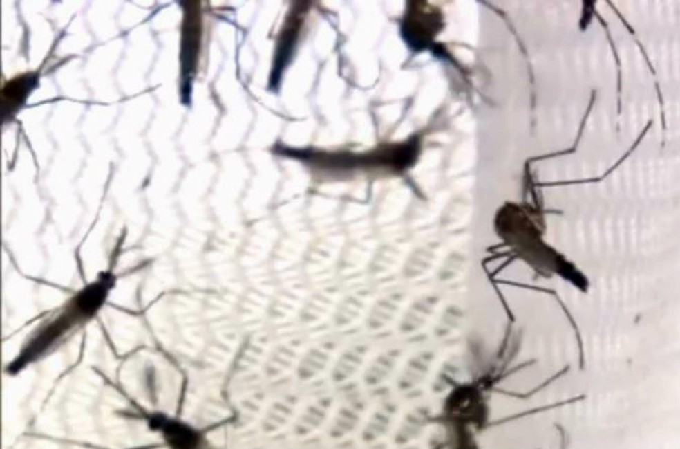 Mosquito Aedes aegypti é o transmissor da dengue — Foto: Reprodução/TV Morena