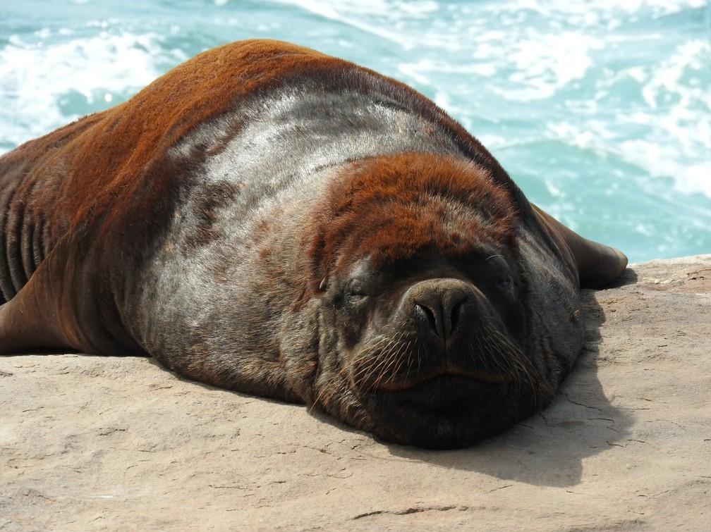 Leão-marinho-do-Sul foi um dos 303 animais resgatados e reabilitados em SC durante 2020 — Foto: Regina Reis/R3 Animal