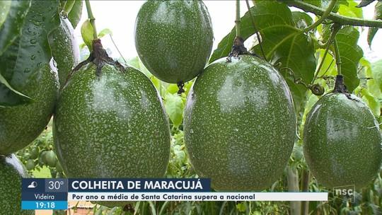Cidade no Sul de SC se destaca na produção de maracujá