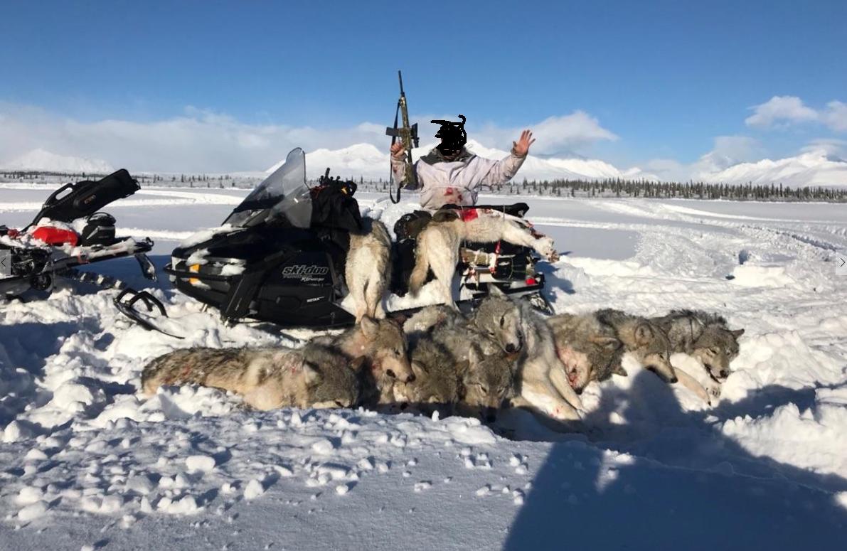 Homem mata 10 lobos e posa ao lado de carcaças no Alasca