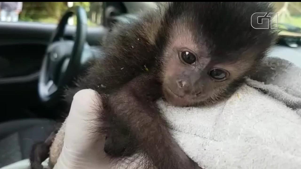 Filhote de macaco-prego é resgatado, em Cascavel