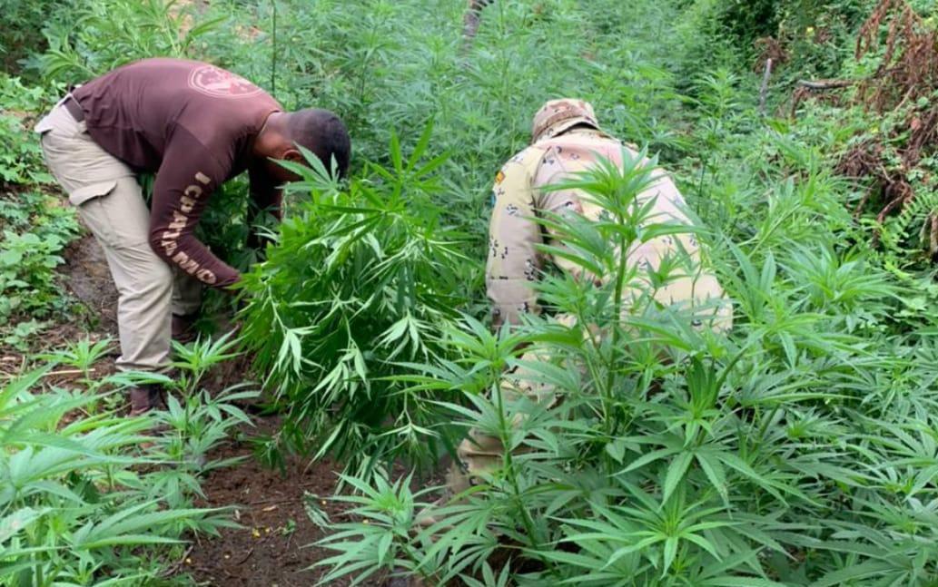 Ação policial encontra 450 mil pés de maconha no norte da BA; droga estava dividida entre 8 plantações