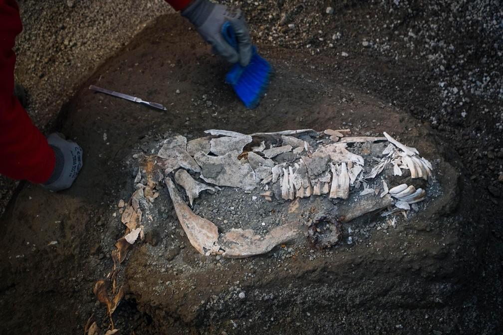 Arqueólogos desenterraram restos petrificados de cavalos e selas no estábulo de uma antiga vila em Pompeia — Foto: Cesare Abbate/AP