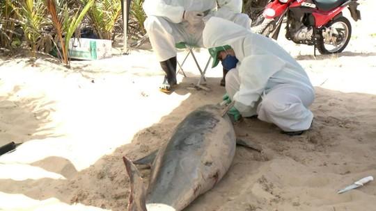 Golfinho sujo de óleo encontrado morto em Alagoas