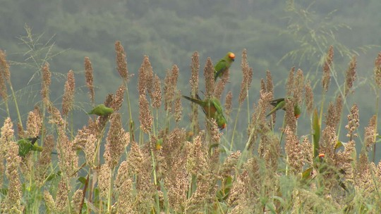 Plantações de sorgo atraem bando de maritacas a Vargem Grande do Sul, SP