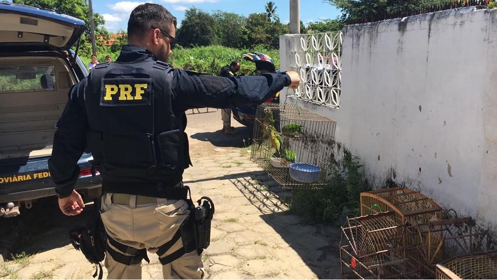 Polícia Rodoviária Federal apreendeu aves silvestres criadas irregularmente em Buriti dos Lopes, Norte do Piauí (Foto: Reprodução PRF)