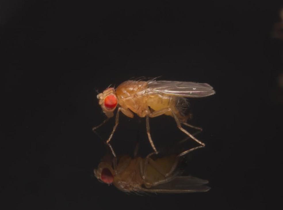 Mosca da fruta, da espécie Drosophila melanogaster  (Foto: Qinyang Li/Divulgação)