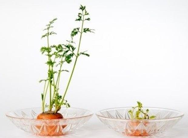 As folhas da cenoura são ótimas para colocar na salada ou em temperos (Foto: Gardening Know How/ Reprodução)