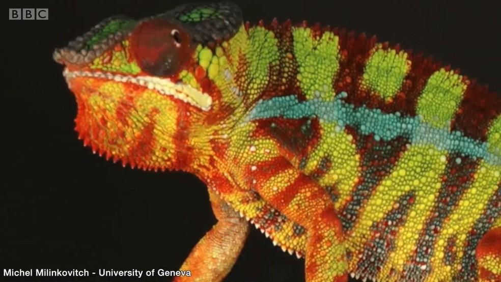 Resposta está nas células especiais refletoras que camaleões têm na pele (Foto: BBC)
