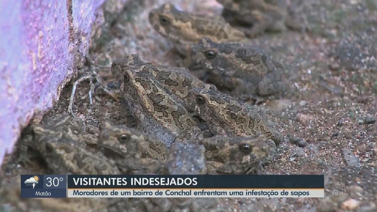 Infestação de sapos chama a atenção e assusta moradores de Conchal: 'virou ponto turístico' - G1