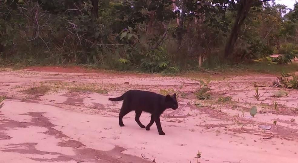 Gato-palheiro é difícil de ser encontrado na natureza; câmera flagrou indivíduo melânico na fazenda Trijunção — Foto: Projeto Onçafari