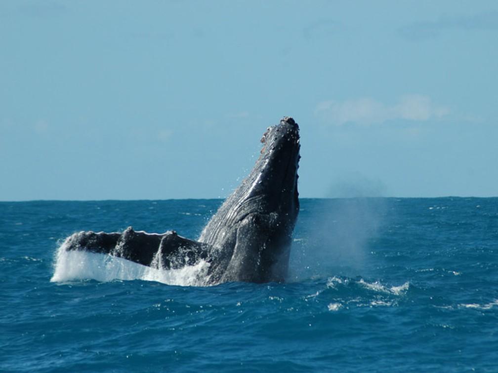 Na imagem acima, baleia jubarte é vista  em Abrolhos (Foto: Banco de Imagens Instituto Baleia Jubarte)