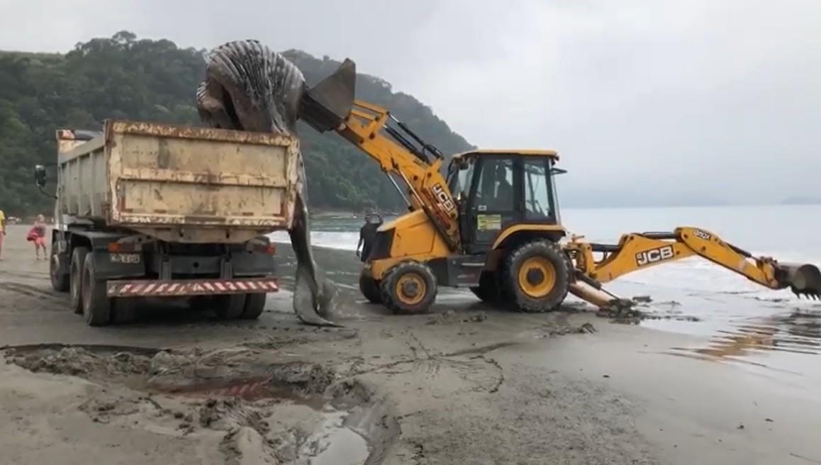 Carcaça de baleia jubarte é retirada da Prainha de Mambucaba, em Paraty
