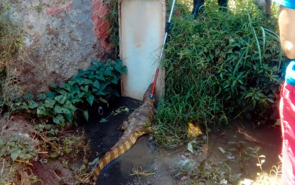 Animal foi solto em uma lagoa conhecida como lava-pés (Foto: Bombeiros Militares da Bahia)