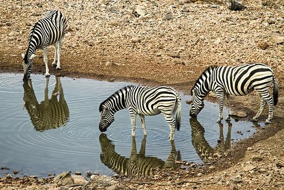 Zebras-da-planície – da subespécie Equus quagga burchellii – bebem água em uma poça no Parque Nacional Etosha, na Namíbia (Foto: © Haroldo Castro/Época)