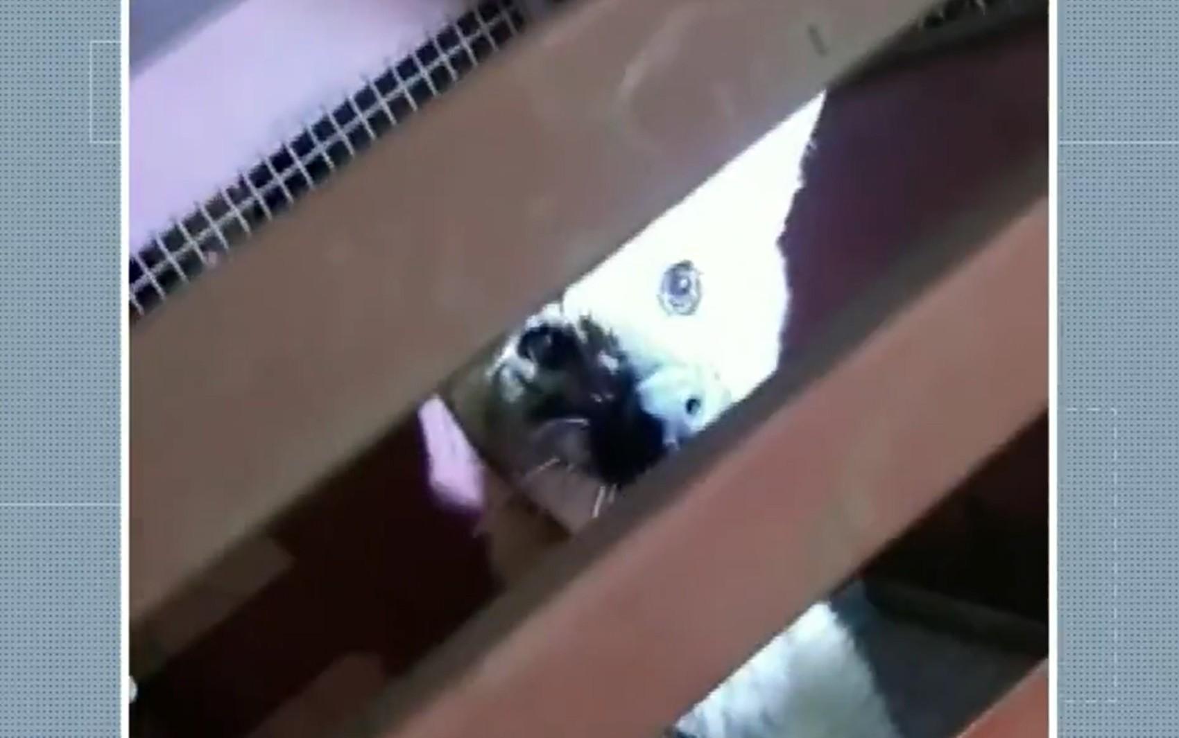 Lobo-guará é visto correndo por avenida de Pouso Alegre e é capturado pelo Corpo de Bombeiros; VÍDEO