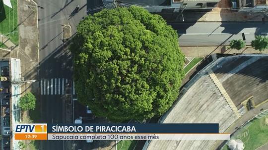 Centenária, história da árvore símbolo de Piracicaba foi revelada quase 80 anos após ser plantada