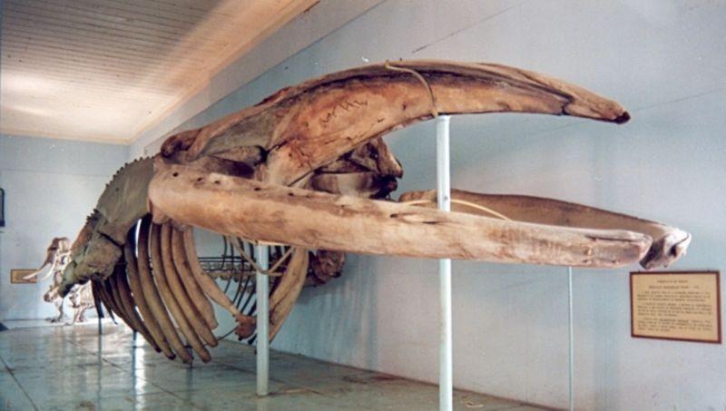 Esqueleto da baleia jubarte (Foto: Divulgação)